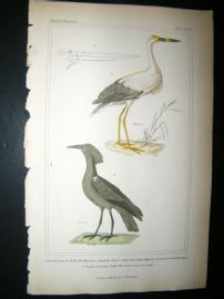 Cuvier C1835 Antique Hand Col Print. American Stark, The Jabiru, Umber-coloured Stark, 66